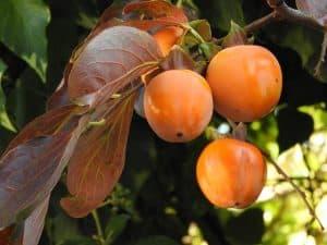 גיזום עצי פרי הדר