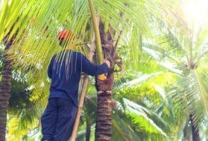 גיזום עצי דקל מהיר ואיכותי