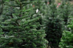 העתקת עצים בוגרים עד לביתך
