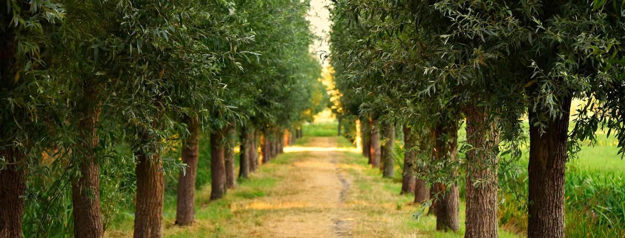 חובת גיזום עצים