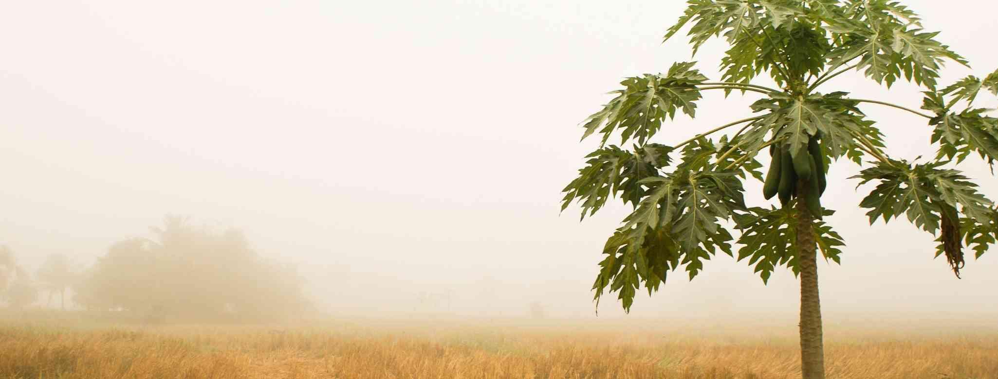 לגזום עצי פפאיה