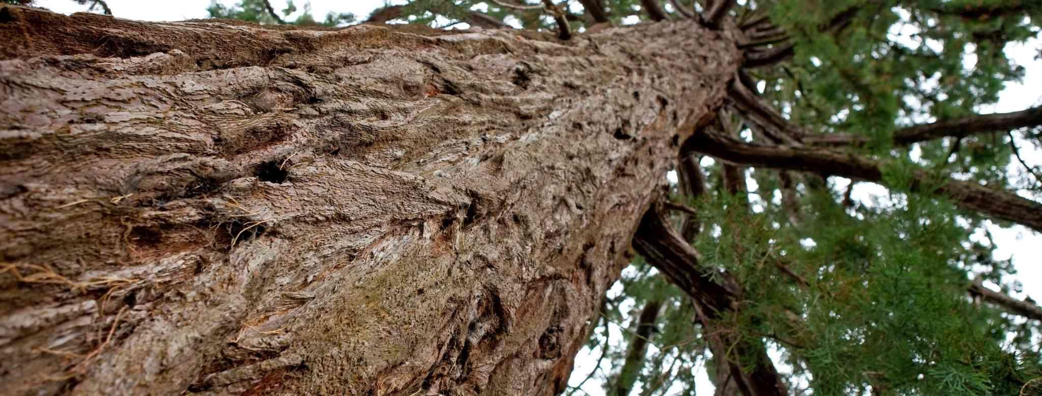 גיזום עץ צאלון