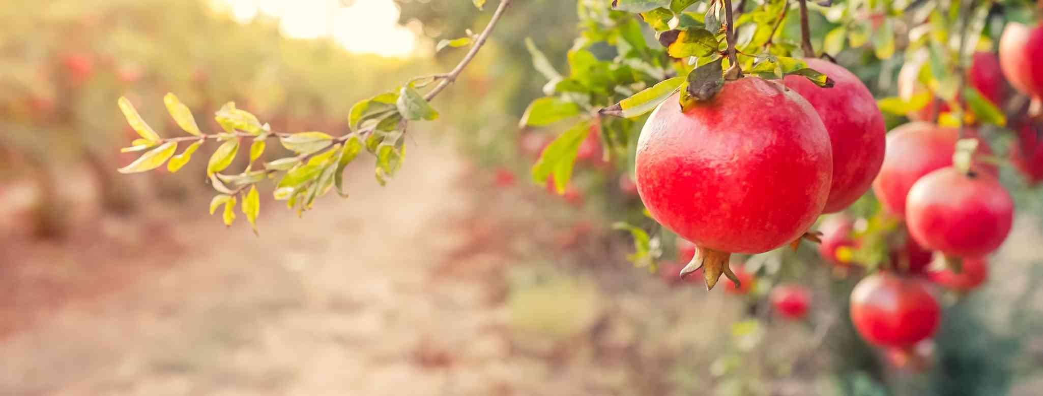 האם מותר לגזום עץ פרי